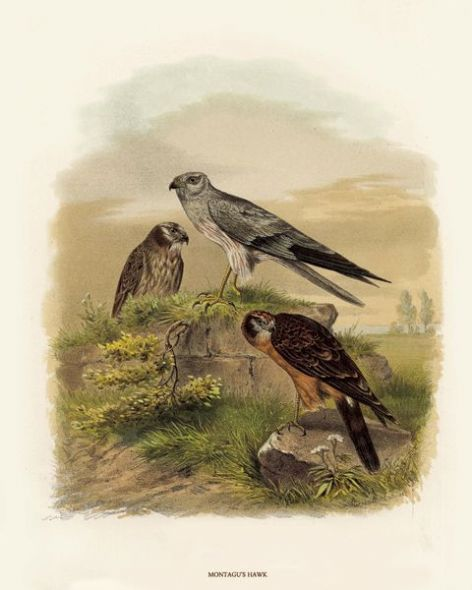 Fine Art Print of the Montagu's Harrier (Ash Coloured Harrier) by O V Riesenthal (1876)